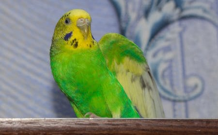 Budgerigar parrot walking on the flat. Budgie