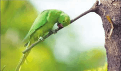 The parrots who have been feasting on the poppy seeds for the past few months,
