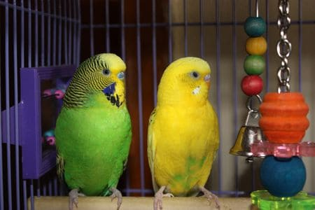 green budgie yellow budgie standing on perch in cage