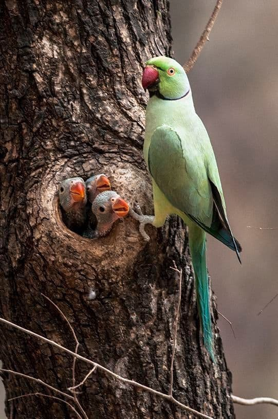 Indian ringneck father with 3 indian ringneck chick in tre hallow