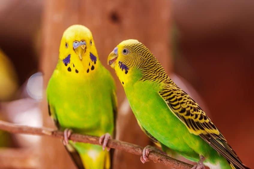 2 green budgies talking on a perch