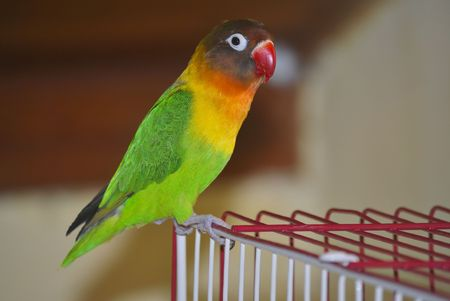 black masked lovebird staning on top of red and white wire bird cage