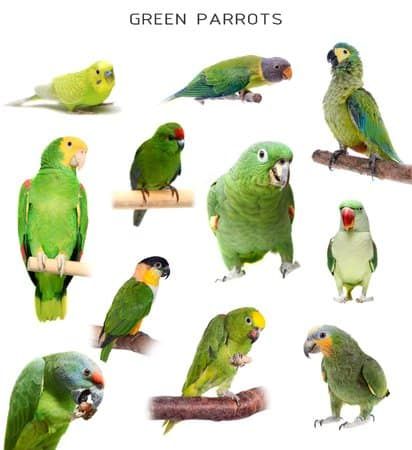 Set of green parrots and parakeets, isolated on white background