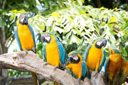 5 Blue and yellow macaw, Ara ararauna