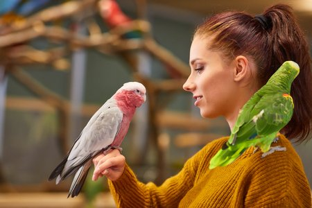 woman with galah cockctoo parrot on right hand and orange wined amazon parrot on left shoulder