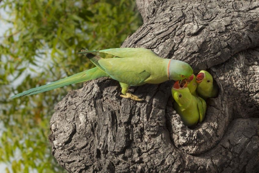 indian ringneck parrot give food to her three chicks in a tree hollow