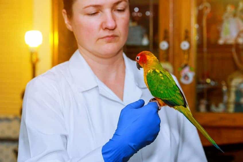 Beautiful young veterinarian feeding parrot in vet clinic veterinarian checks the parrot