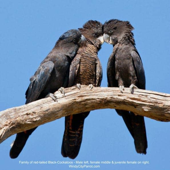 black cockatoo family - male - female - juvenile