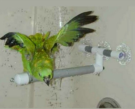 Amazon parrot taking shower on shower perch