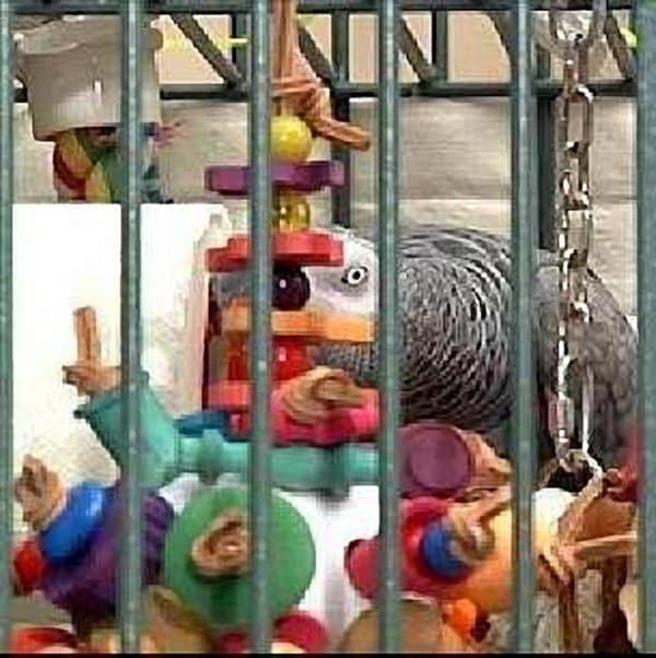 african grey parrot in cage with many toys
