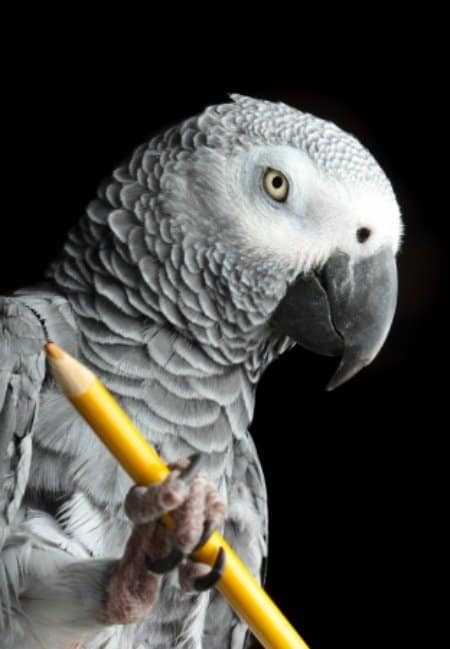 african grey parrot holding pencil