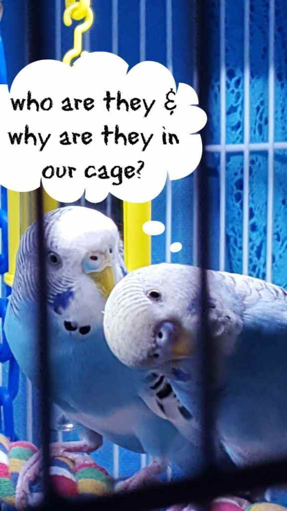 2 budgies one looking down in cage questioning why there are 2 are 2 additional budgies