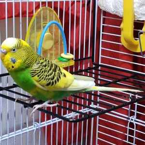 Green budgie on wire shelf