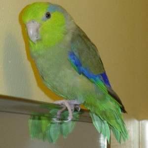 Parrotlett