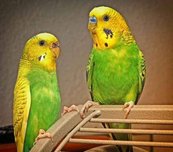 How can I tame two adult budgies at once?