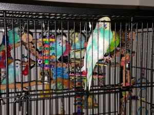 Is this a proper budgie cage set up?