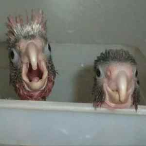 2 parrot chick in bath