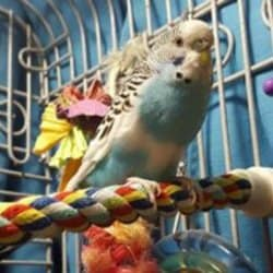 Budgie on a soft rope booda perch