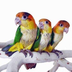 Medium Parrot