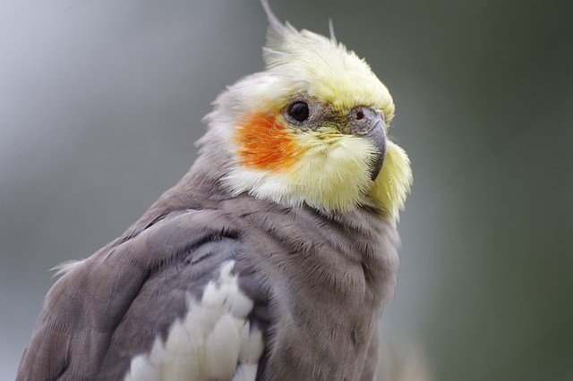 How Can I Help My Cockatiel's Broken Wing Heal?