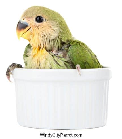 lovebird in a cup