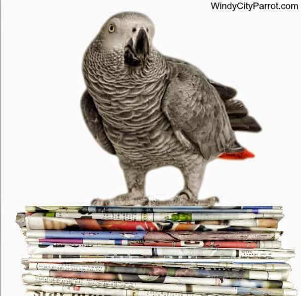 African grey parrot standing on stack of newspaper