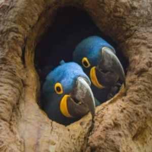 2 hyacinth macaw chicks in tree hallow