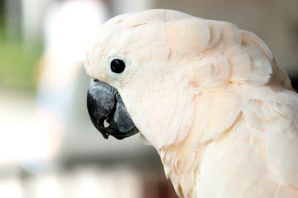 moluccan cockatoo close up head shot