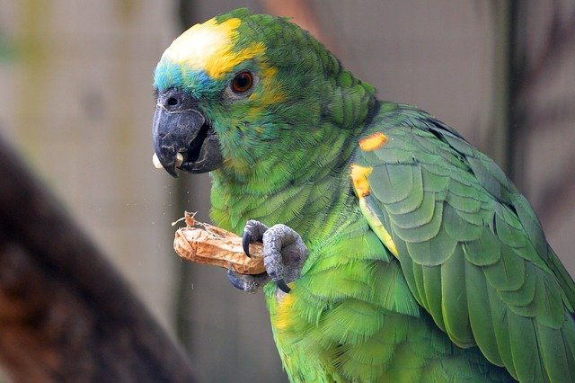 blue frnt amazon parrot eating peanut in the shell