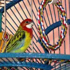 Eastern rosella parakeet in birdcage with comfy perch rope swing