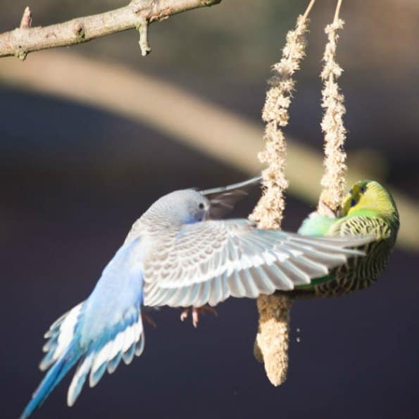 budgie stop action flying towards hanging millet