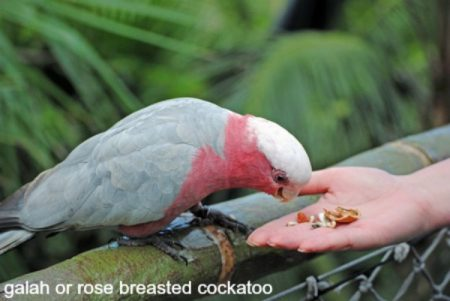 Rose breasted cockatoo eating from woman's hand