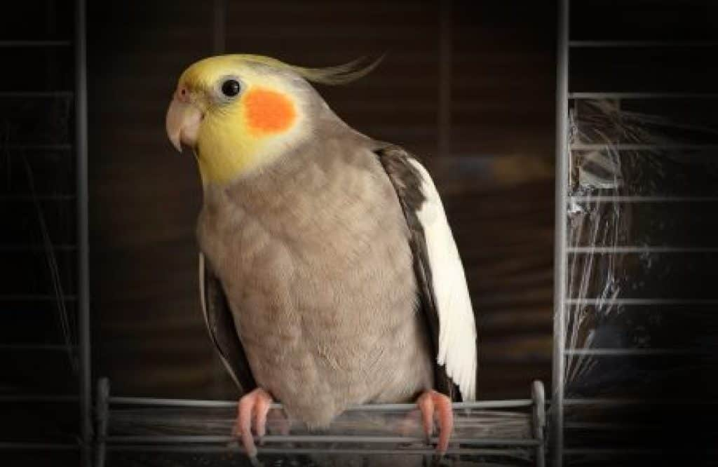 Answers To Cockatiel Problems Including Swollen Tongues And Bumblefoot