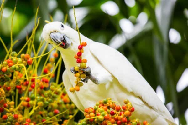 A wild yellow-crested cockatoo spotted eating