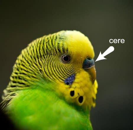 closeup-head green budgie illustrating the bird's cere
