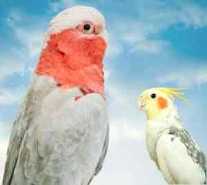 Cockatiels are more similar to cockatoos than you might think