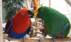 perroquet eclectus