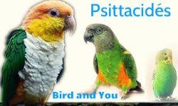 Psittacidés Bird and You
