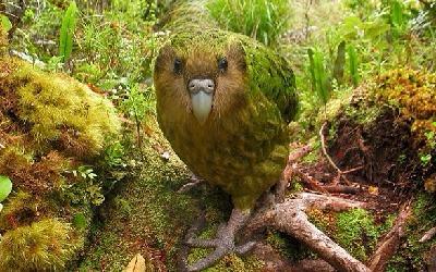 perroquet kakapo