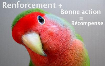 Les Psittaciformes: perruches, perroquets et autres Renforcement-positif-1