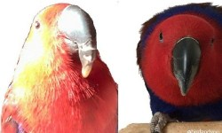 bec perroquet