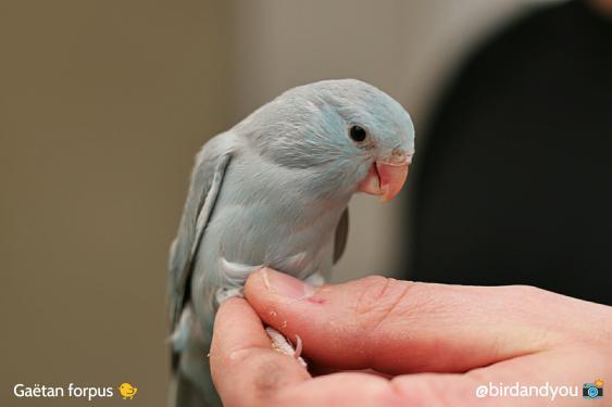 toui céleste femelle bleu cinamon