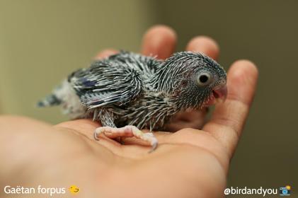 toui céleste gris mâle