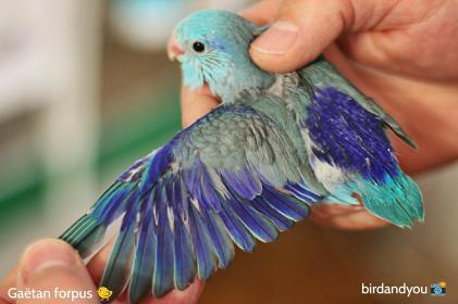 toui céleste mâle bleu