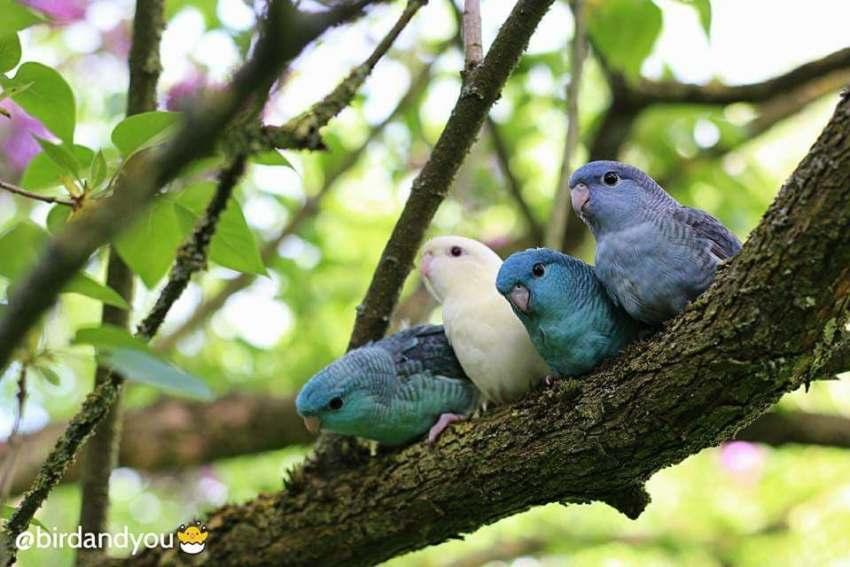 Catherine parakeets