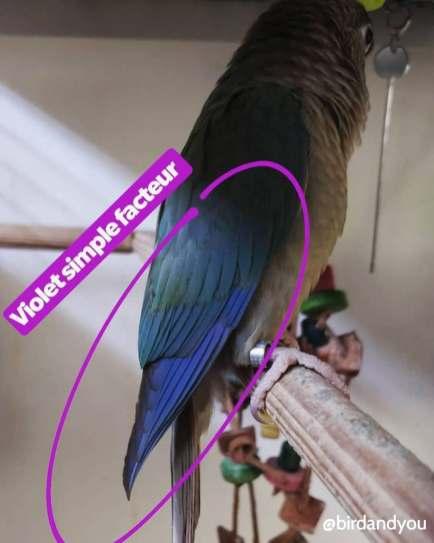 Déclic : Pyrrhura turquoise cinamon violet sf