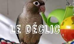 Le déclic chez les perruches et perroquets