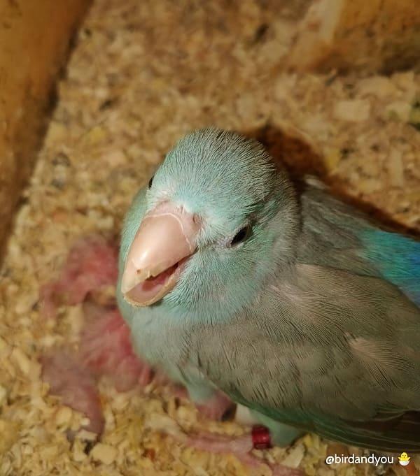 Reproduction des touis céleste-Femelle toui céleste au nid