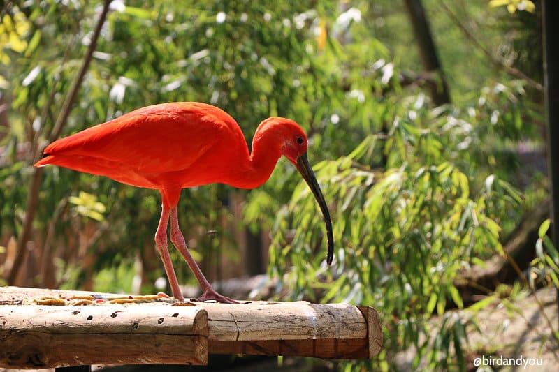 Ibis volières du zoo de lille