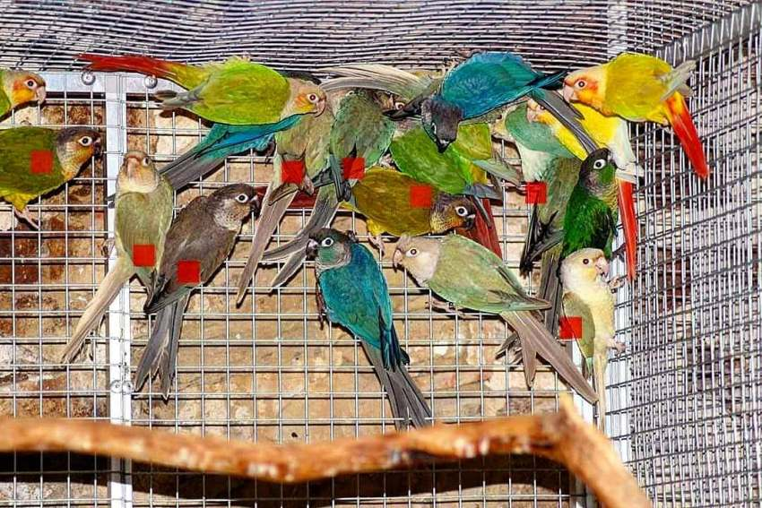Groupe pyrrhura en mutation